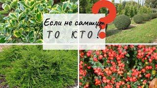 Чем заменить самшит - вечнозеленые лиственные кустарники которые идеально заменят самшит