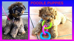 POODLE PUPPIES - DIY Dog Food & Fun by Cooking For Dogs
