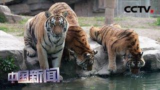 [中国新闻] 上海野生动物园:夜间游园8月8号对公众开放 | CCTV中文国际