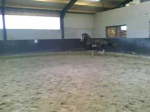 3 yr old South African Hackney Horse Stallion