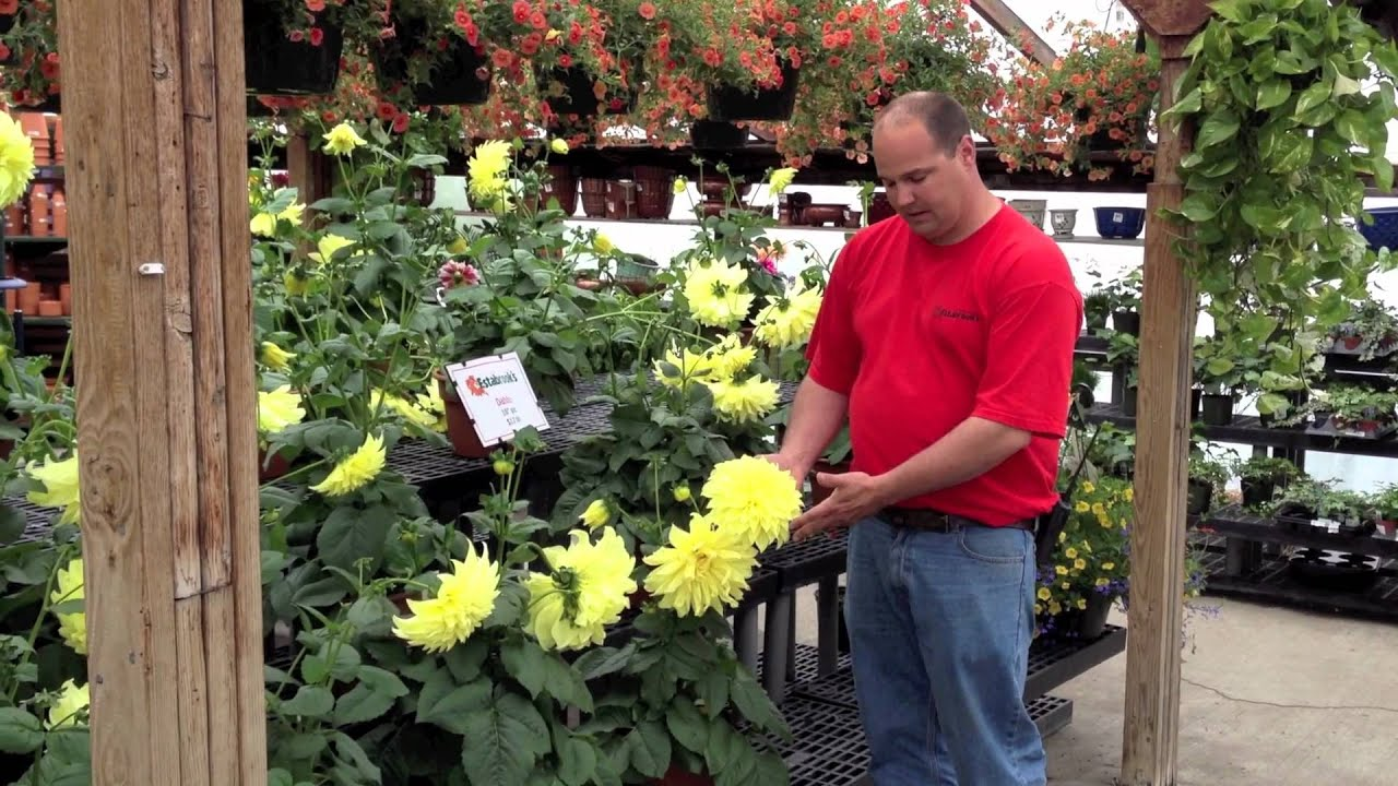Dinnerplate Dahlias  sc 1 st  YouTube & Dinnerplate Dahlias - YouTube