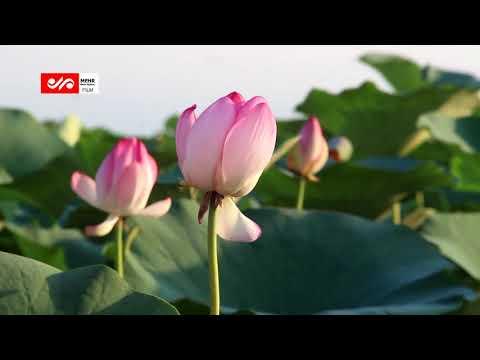 Цветение лотоса в лагуне Энзели