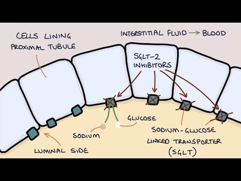 How Does Dapagliflozin Work? Understanding SGLT2 Inhibitors.