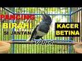 Pancingan Kacer Betina  Efektif Bikin Kacer Jantan Mudah Gacor Narung Seketika  Mp3 - Mp4 Download