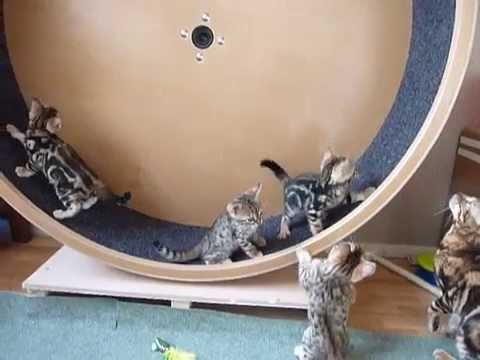 The Bengal kittens first time in our home self made catwheel