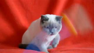 Предлагаем: купить шотландского котенка. Котята блю-поинт окраса.