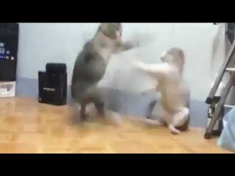 Cats Fight    Cats funny videos    Cats fighting