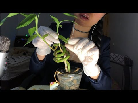 ASMR A LIL LOVE GOES A LONG WAY! CLEANING + REVIVING a Depressed Bamboo Plant (Latex Gloves, WATER)