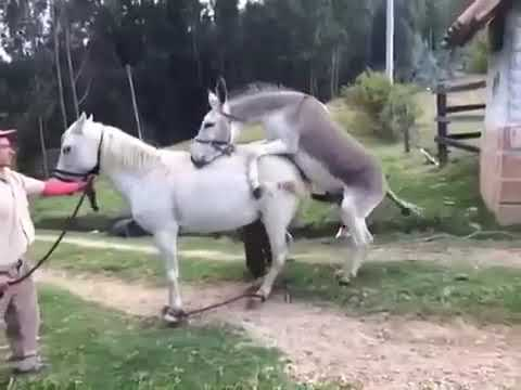 Donkey and Horse | Mating 2019