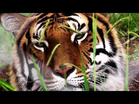 Tiger, the largest wild cats in the world - YouTube
