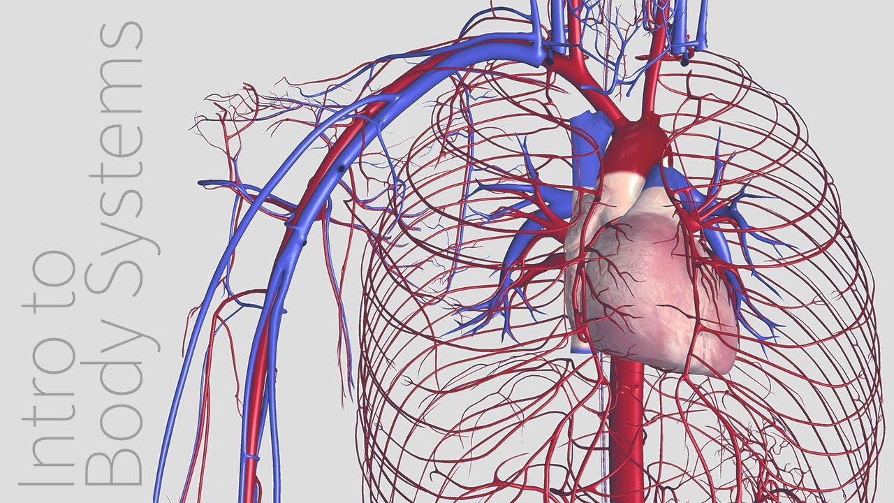Introduction To The Cardiovascular System Animated Tutorial