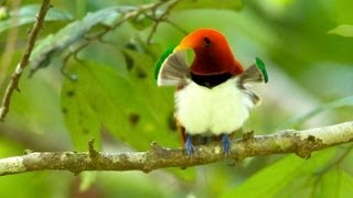 King Bird-of-Paradise