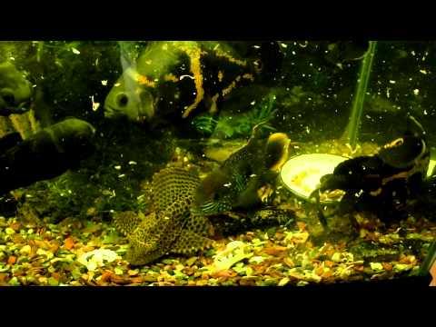 Хищные аквариумные рыбы 2