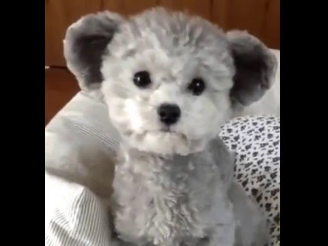 Teddy Bear Puppy Youtube