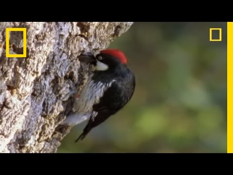 Woodpeckers vs. the World | National Geographic