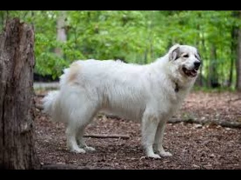 Great Pyrenees History And Information