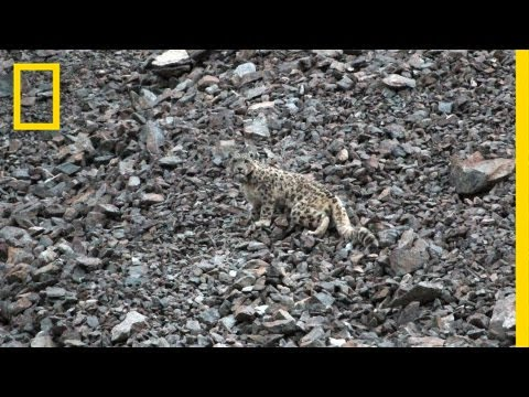 Snow Leopards Tagged in Afghanistan — A First | National Geographic