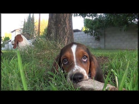 12 Week Old Basset Hound Puppies Play! Very Very Cute!