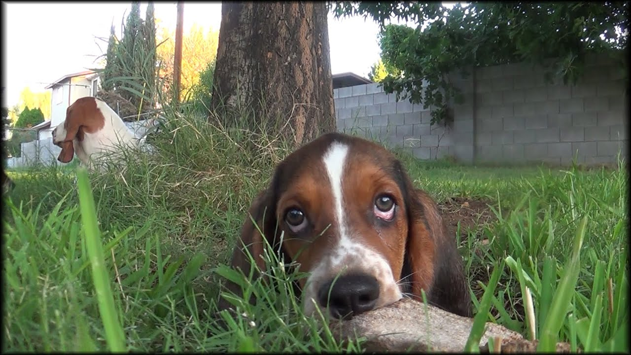 cute plott hound dog - photo #40