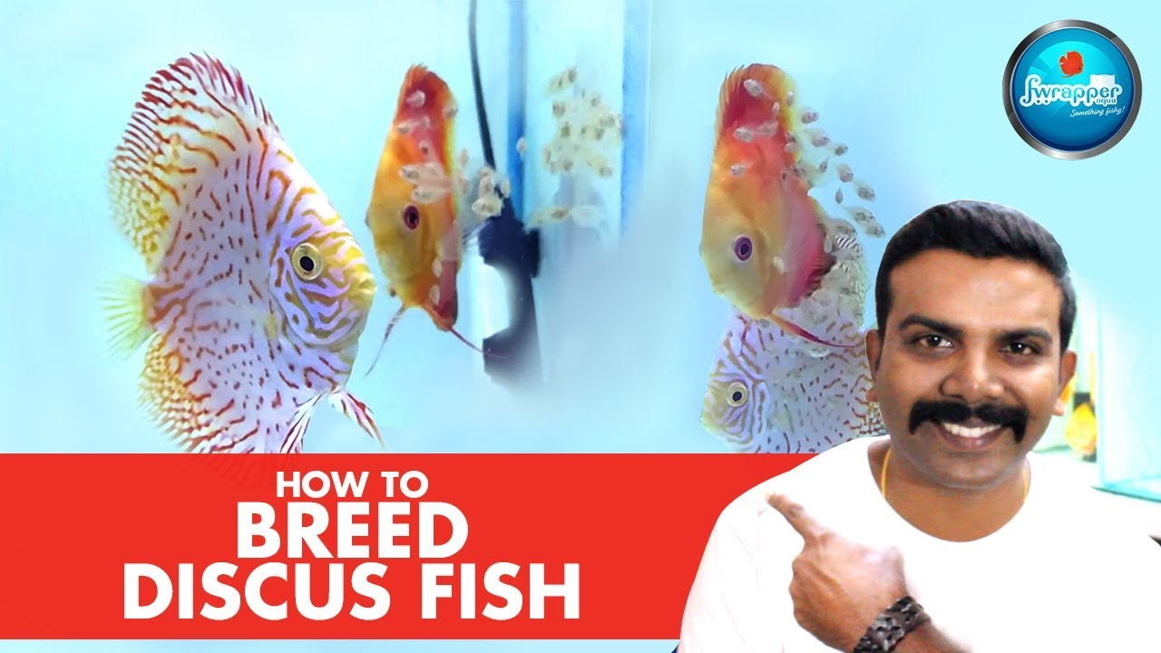 How To Breed Discus Fish