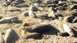 The Fat and Sandy - Elephant Seals of San Simeon, California 2011