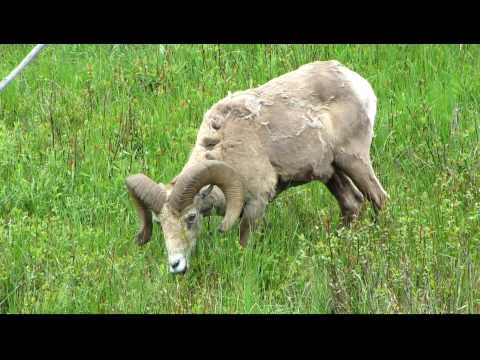Yellowstone National Park: Bighorn Sheep / Ram