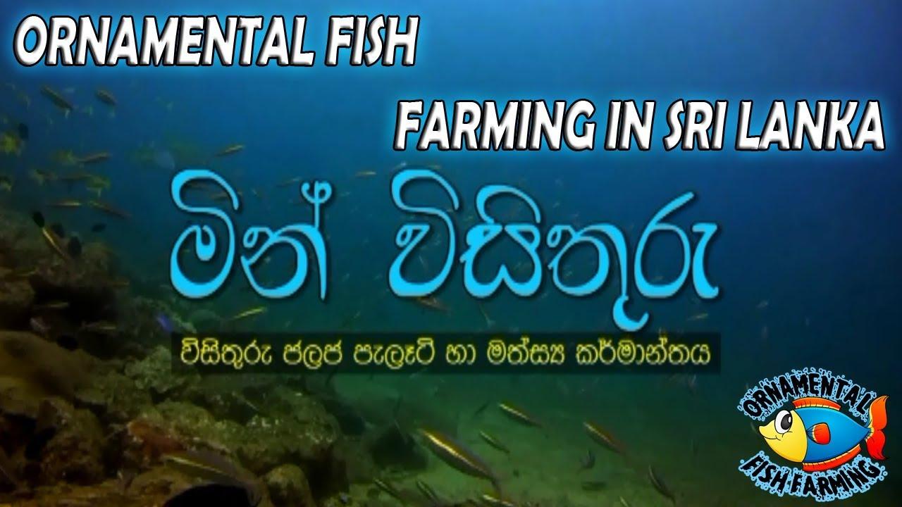 Ornamental Fish Farming In Sri Lanka Sinhala Aquarium Fish Youtube