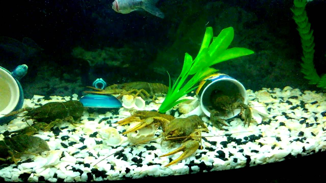 ženka škorpiona koji izlazi akvarij mužjak