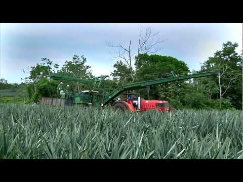 DOLE - Harvesting Pineapples