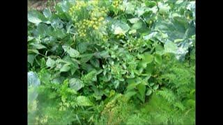 VLOG: Огород без хлопот. Обзор моего огородика.(Лучший огород -- разнообразный огород! Приглашаю вас на экскурсию по моему маленькому огородику. Соленые..., 2016-07-29T06:24:20.000Z)