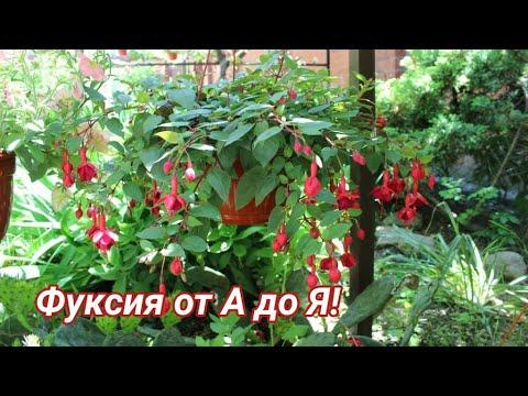 Выращивание ФУКСИИ от А до Я!