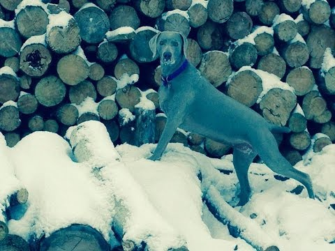 DOG BREEDS - Rottweiler, Australian Shepherd, Great Dane,  Golden Retriever,Weimaraner