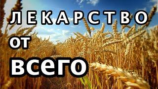 Лекарство от всего. Рецепт из пророщенной пшеницы