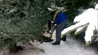 видео Перевозка деревьев крупномеров манипулятором