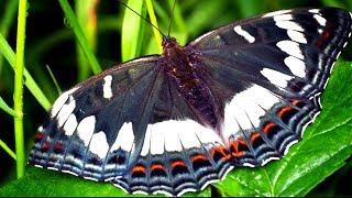 Бабочка Ленточник тополевый, описание, питание, образ жизни