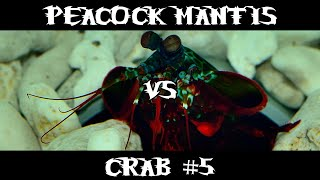 Peacock Mantis VS Crab #5