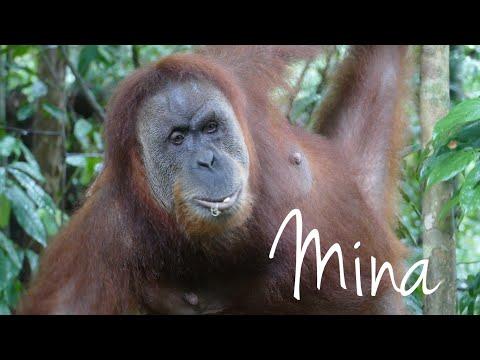 Mina the Orangutan - Queen of the Sumatran Jungle