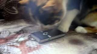 Кошка Виста ненавидит телефоны
