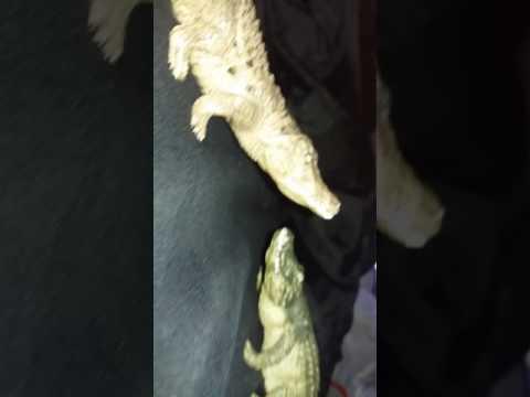 Sarcosuchus vs Deinosuchus vs Purussaurus my thoughts