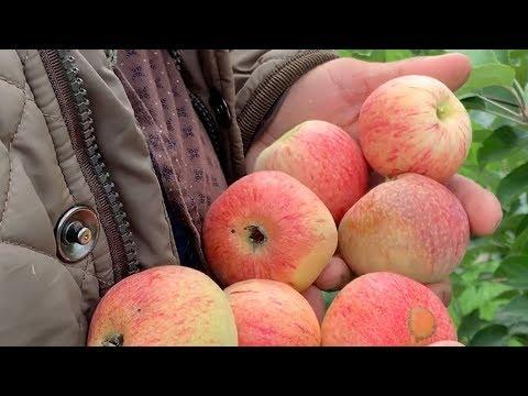 Вопрос: Яблоня Валюта . Какие особенности сорта Какие отзывы?