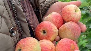 Яблоня сорт КОНФЕТНОЕ. Вкус на 5 баллов, ранний, зимостойкий сорт яблони.
