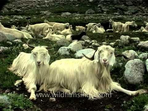 Changthangi Goats: A rich source of pashmina production in Ladakh