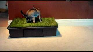 3 Year Old Chihuahua using a Potty Park!