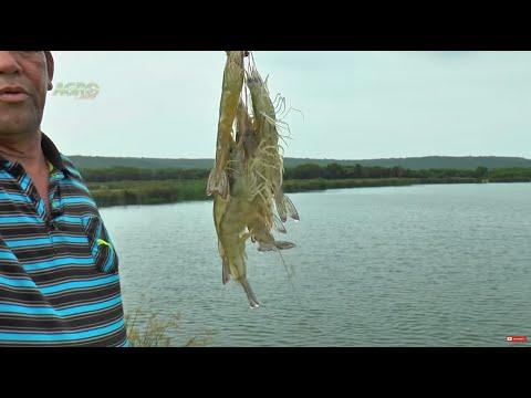 Camaronicultura o cultivo de camarón