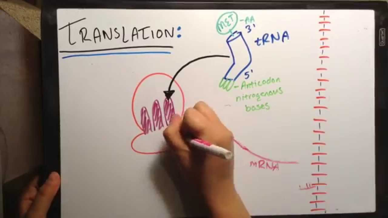 DNA Replication, Transcription, and Translation ...
