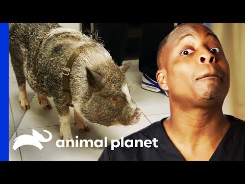 Bentley The Stinky Pig Gets His Bad Smell Sorted Out | The Vet Life