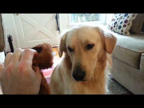 Guilty Dog Looking At Destroyed Toys & Throwing them in Trash - English Cream Golden Retriever