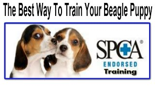 How To Train A Beagle Puppy  ☼ START TODAY ☼  How To Potty Train A Beagle :))))