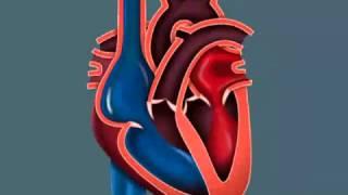 Сердце (Анатомия)