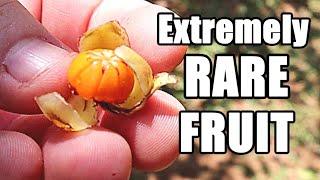 We Found a Very Rare Fruit from the Seychelles! -  Dillenia ferruginea Review - Weird Fruit Explorer
